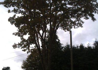 Elagage d'un chêne à Sucé sur Erdre