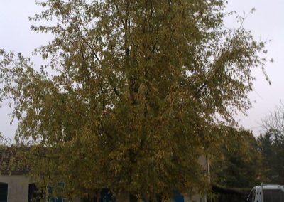 Réduction en hauteur d'un arbre fragilisé par une tempête, photo avant intervention